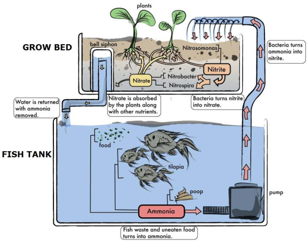 Aquaponics on vegetable raised garden bed diagram